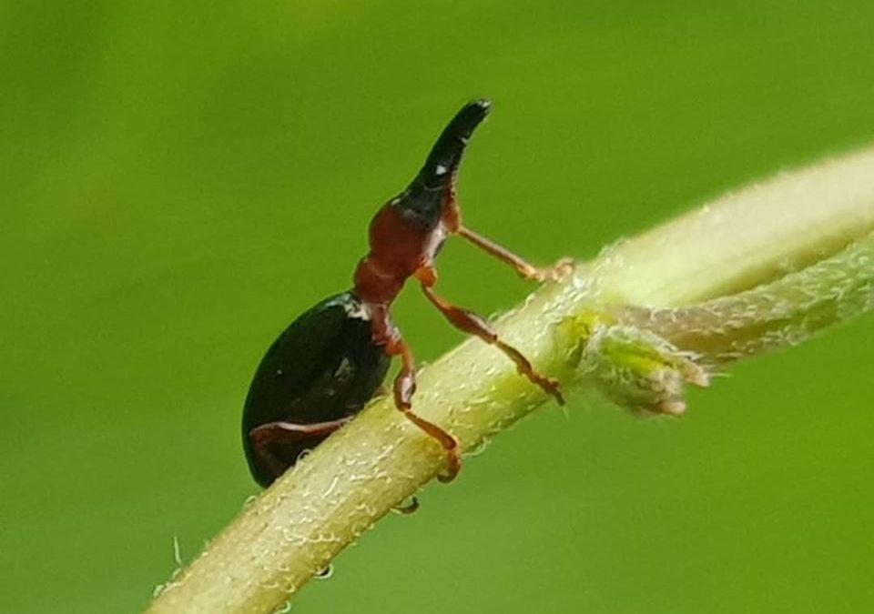 It's not an alien, it's a beetle. #insectsofinstagram #biodiversityph #beetle
