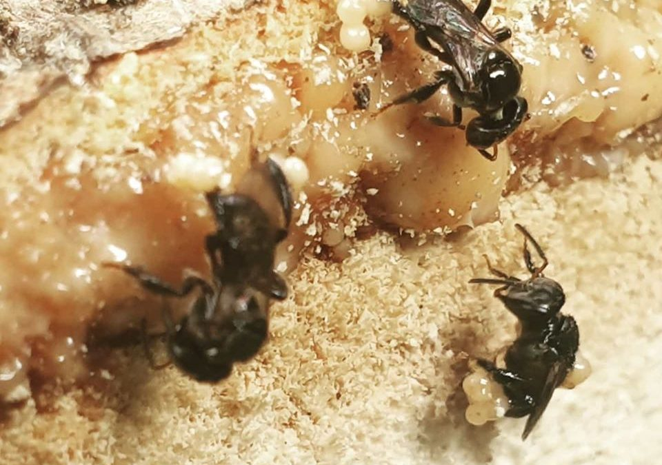 Stingless bees collect resin from a cut mango tree. They shape collected resin into sap spheres and stick these on their hind legs. They use this sap spheres for repairing and sealing the hive. #stinglessbees #bees #hymenoptera #insectsofinstagram #beekeepersofinstagram